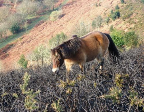 Exmoor pony feeding on burnt gorse bushes