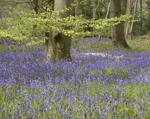 Bluebells at Burton Mere Wetlands, by Mike Malpass
